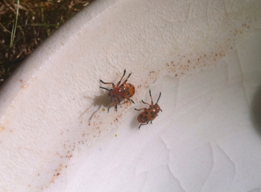 Spotted asparagus beetles