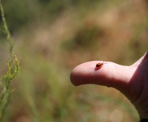 Spotted Asparagus Beetle duodecimimpunctata