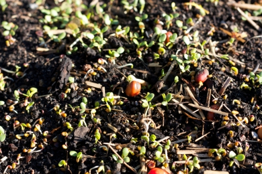 Cover crops sprouting