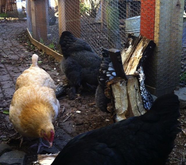 Chickens 'helping' split wood (aka eating bugs and wood chips)