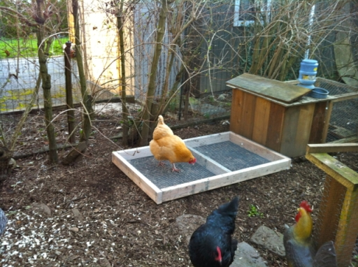The Golden Chicken exploring the grazing frame