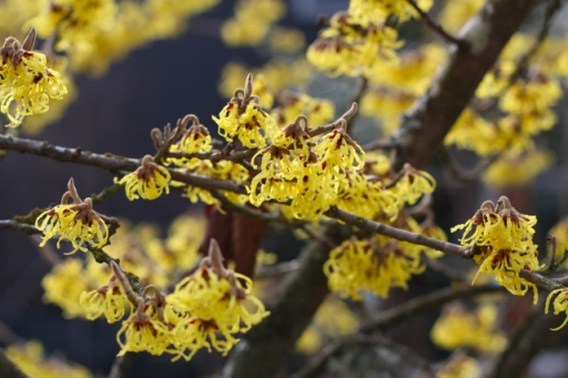 Fragrant, Brilliant, Blooming Witch Hazel