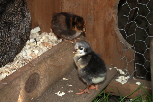 (Presumed) blue orpington (front) and blue-laced red wyandotte (back) chicks
