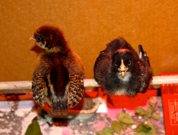 Greta and Rocky as week-old chicks in our first broody box