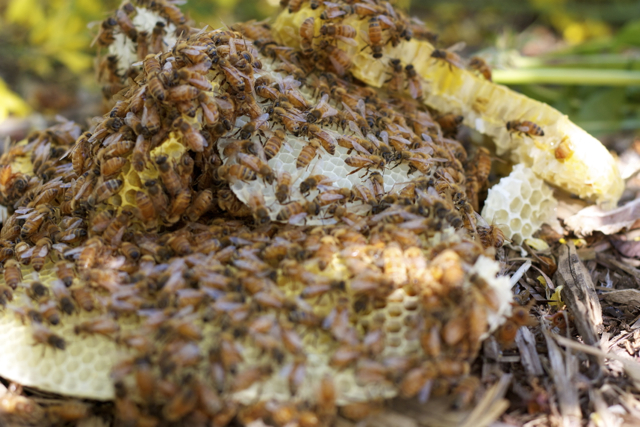 Bees cover the pile of broken comb