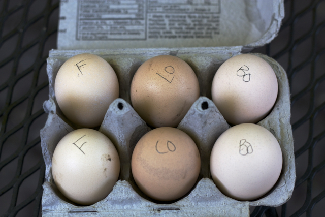 Fertile eggs for the Sympathy Brooder
