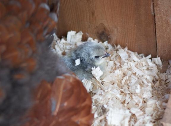 Lavender Orpington Chick