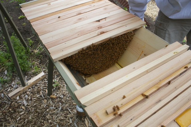 Inside the hive during inspection