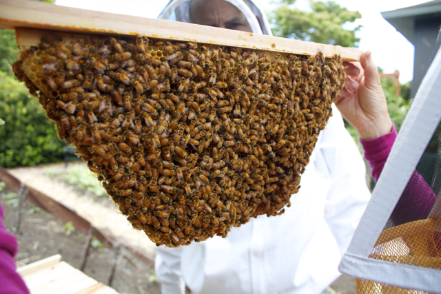 Inspecting a fully built brood comb