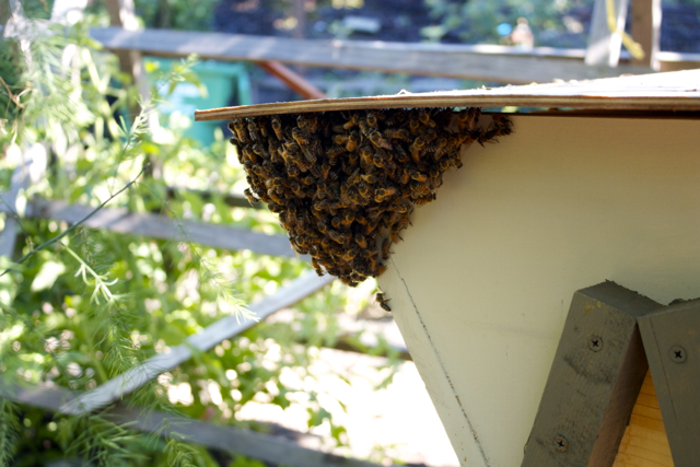 Bearded corner on the Carniolan hive