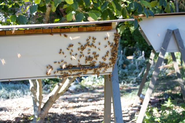 A faint beard developing on the Italian hive