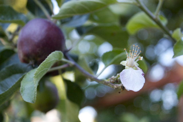 Pollinated flower on fruited apple tree