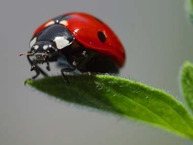 Ladybug_on_leaf380