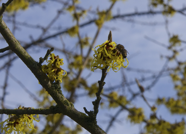 Winter honeybee investigating a witch hazel infloresence