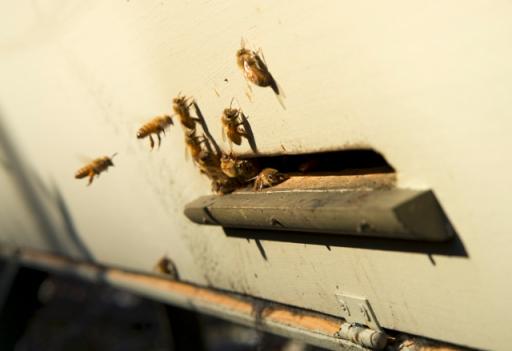 Italian honeybees on a January day in Seattle