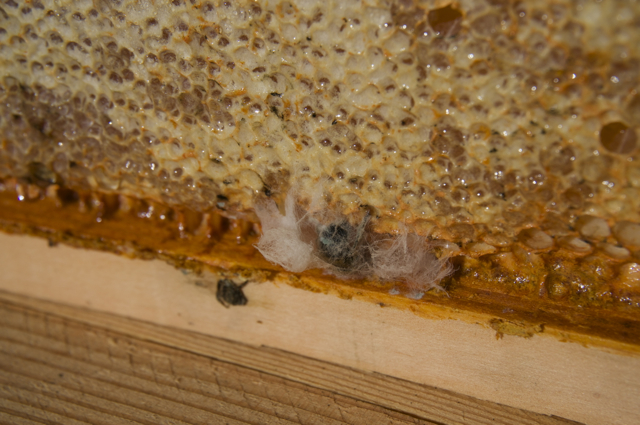 Moldy bee at top of comb (bar upside down for inspection)