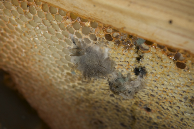 Moldy bees stuck to hive