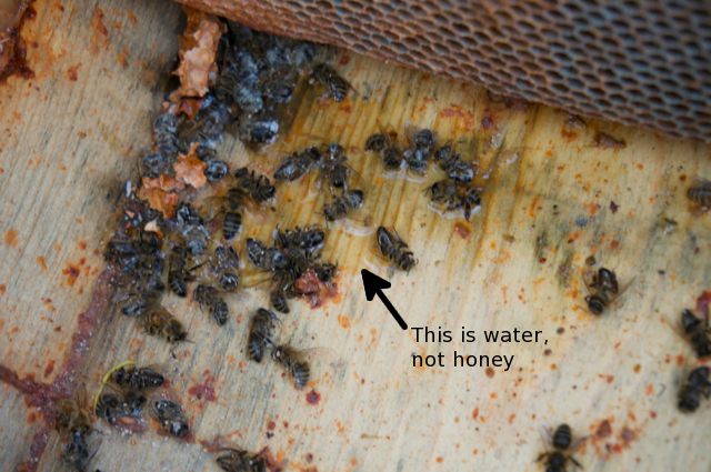 Water pool on hive bottom with dead bees