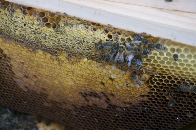 Live bees working at honey cells at the top of a comb near the hive entrance