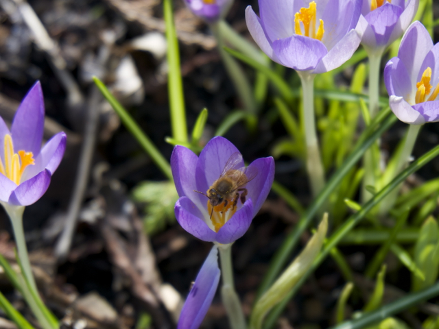 Italian honey bee collecting nectar and pollen from the first crocus blooms