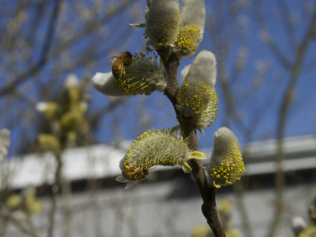 Italian honey bees on the flowers of our pussy willow tree