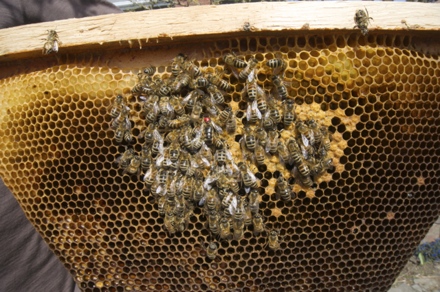Dead bees clustered around the Queen on top bar 10 of the Carniolan Hive