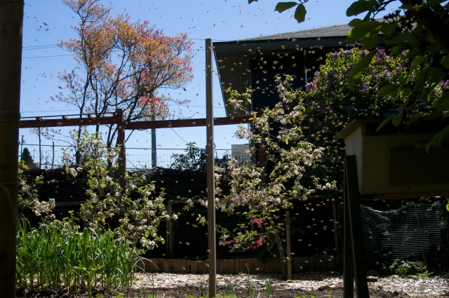 Swarm filling the yard
