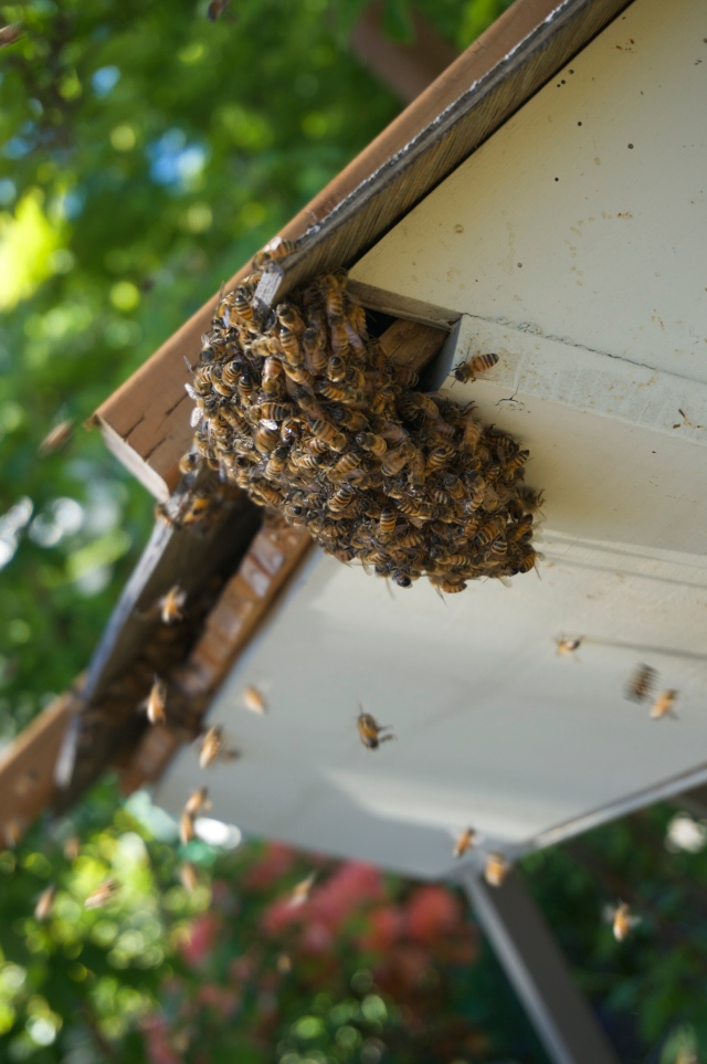 Swarm bees bearding the hive