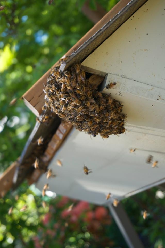 Swarm bees bearding the hive
