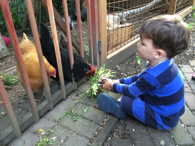 Eli patiently feeding the hens dandelion greens.