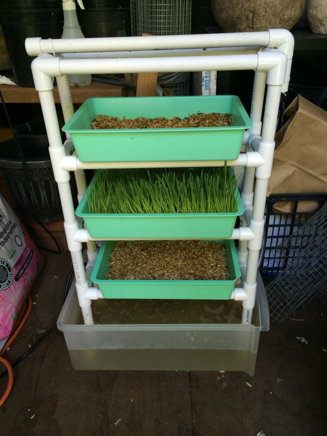 Sprouted grains in the cascading sprouting trays